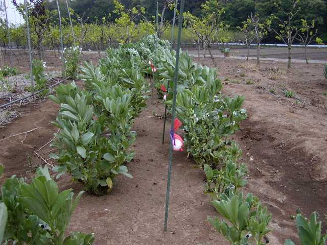 栽培 そら豆